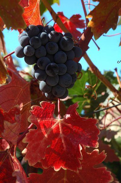 Grapes of Napa