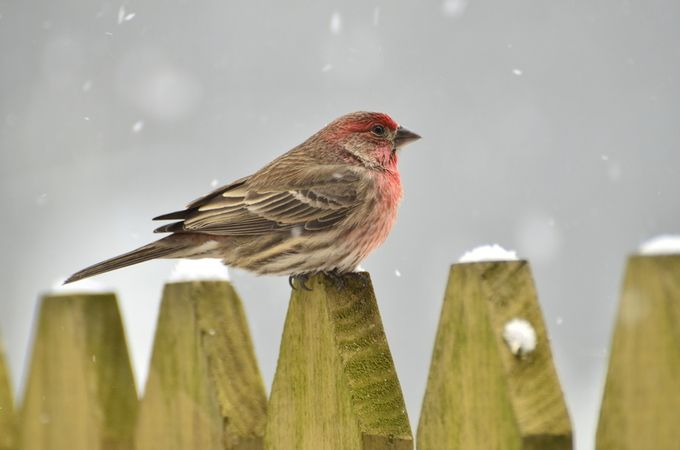 Rose breasted finch by sallycarey - Snowflakes Photo Contest