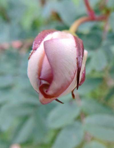Burgeon of a Midsummer Rose