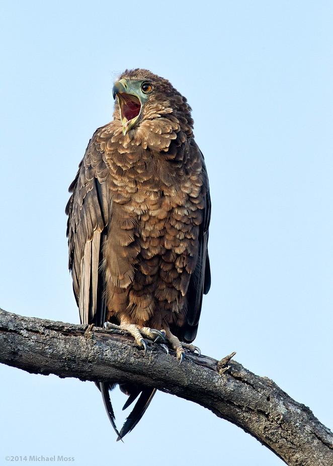 Bateleur Eagle Juvenile by mytmoss - Just Eagles Photo Contest
