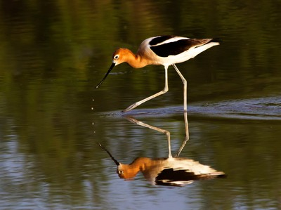 Reflection of an Avocet