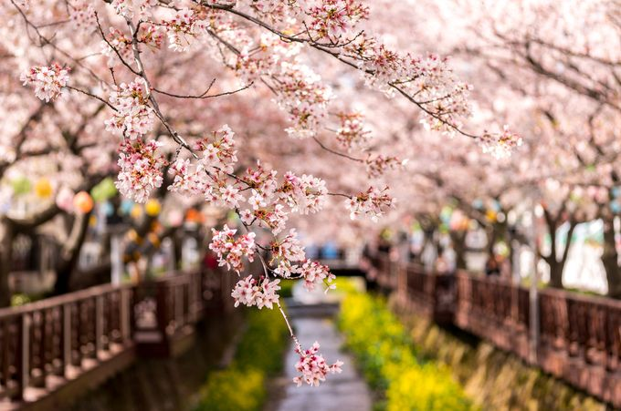 Cherry Blossoms by aaronchoiphoto - Depth In Nature Photo Contest