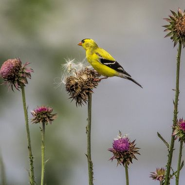 Goldfinch preparing to chow downn on some thistle.