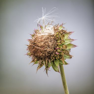 One ready to launch from a dried thistle plant.