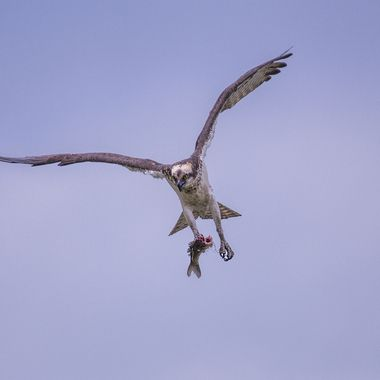 Osprey, fearing a blue heron would rob the nest of dinner, took to flight with the half eaten dinner in hadn.