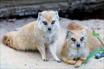 Mr and Mrs Mongoose on the porch