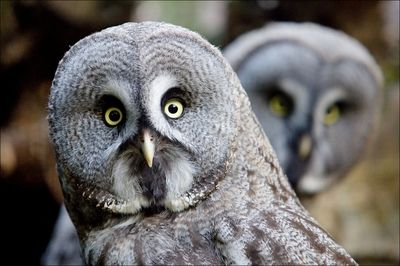 Curious pair of great grey owls