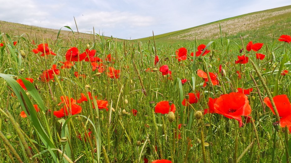 Poppies up on the South Downs