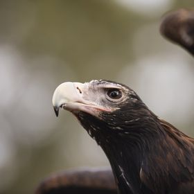 Wedge Tail Eagle 1