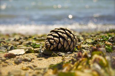 Shore pinecone
