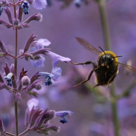 A bumblebee takes off from a flower and momentarily looks to the camera. Taken at Edinburgh Botanic Gardens, Scotland.