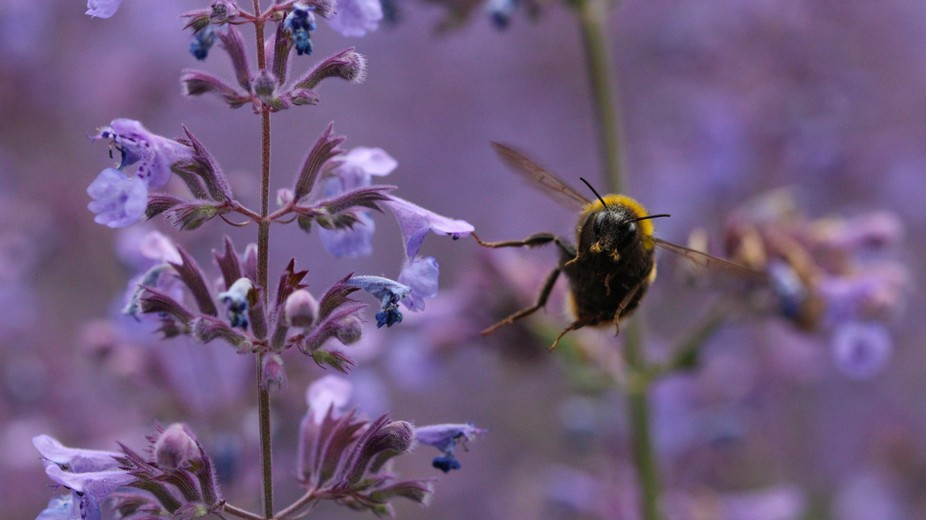 A bumblebee takes off from a flower and momentarily looks to the camera. Taken at Edinburgh Botan...