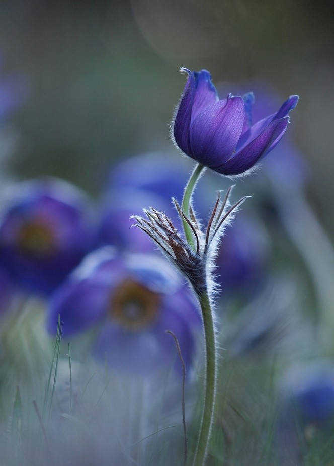 Pulsatilla patens by lszlpotozky - Beautiful Flowers Photo Contest