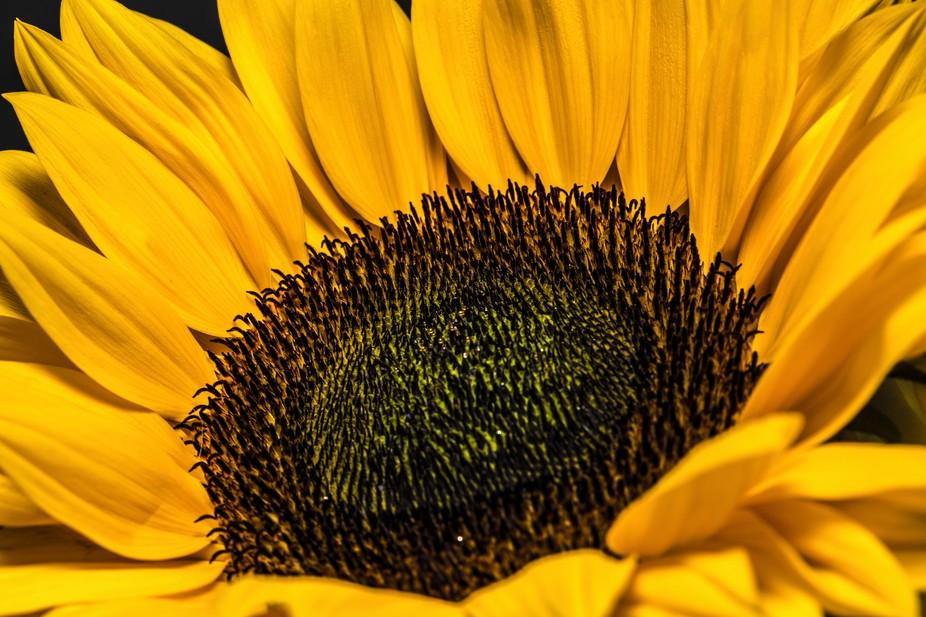 Flash gun synch at 1/400th Sunflower