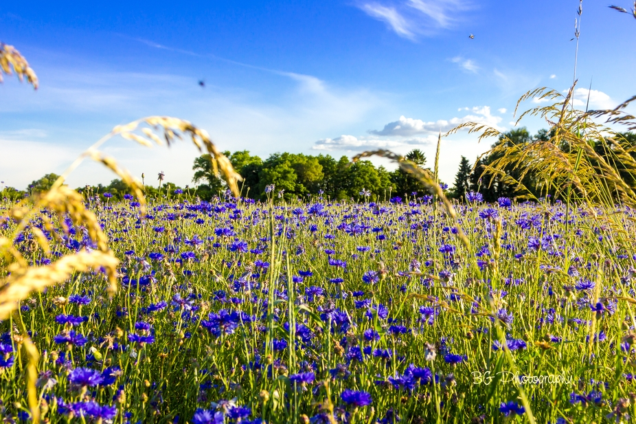 Everywhere it is blue and the whole field was full of corn flowers