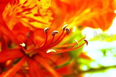 FLAMEBOYANT FLOWER