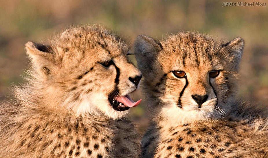 5 month old cheetah cubs - Phinda Reserve, South Africa