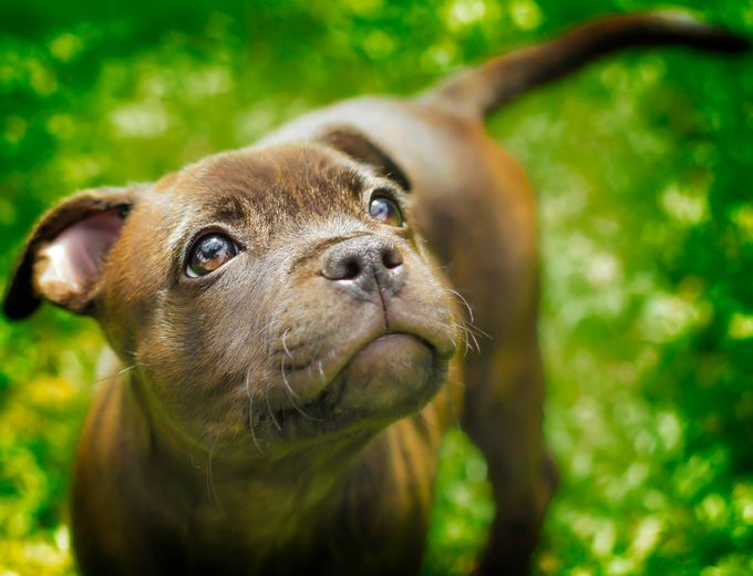 Staffy Pup by Oziephotographer - Kittens vs Puppies Photo Contest
