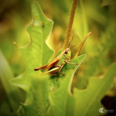 Grasshopper |Criquet