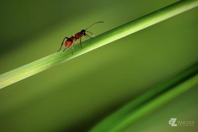 Ant   Fourmi