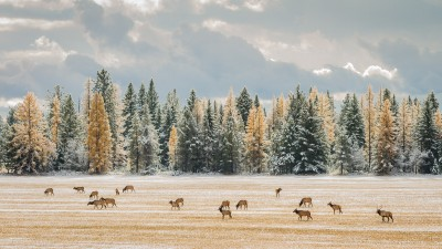 Fall Elk, Montana