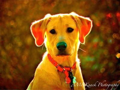 Labrador Luminosity