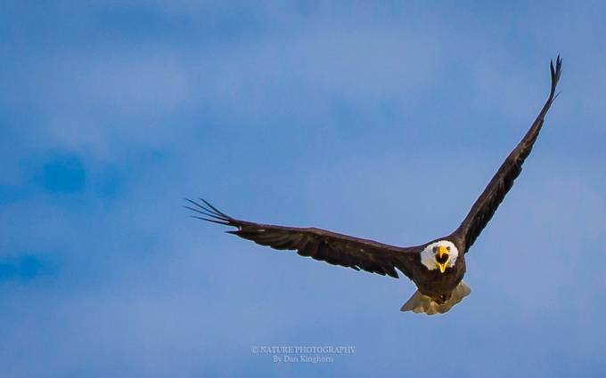 Hello-2 by Dan_Kinghorn - Majestic Eagles Photo Contest