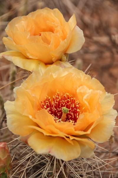 Opuntia Cacti