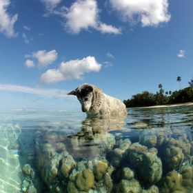 Taken in Cook Islands. Many of the dogs go fishing. This old bluey followed us out into the water while we were snorkelling.