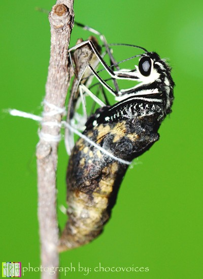 Adult or imago - lime butterfly