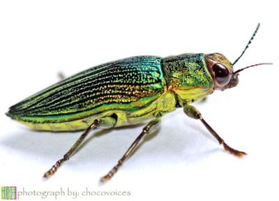 Jewel beetles or metallic wood-boring