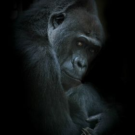 Gorilla Kisoro was my favorite animal model. He died in May 2014 (aged 25) from echinococcosis. He had a great personality and would lead the gro...