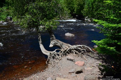 Tree Roots Along The Temperance River