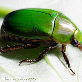 Scarabs—the family of beetles to which jewel scarabs belong—were revered by ancient Egyptians as a symbol of the resurrection and the endurin...