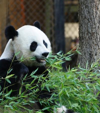 Panda breakfast