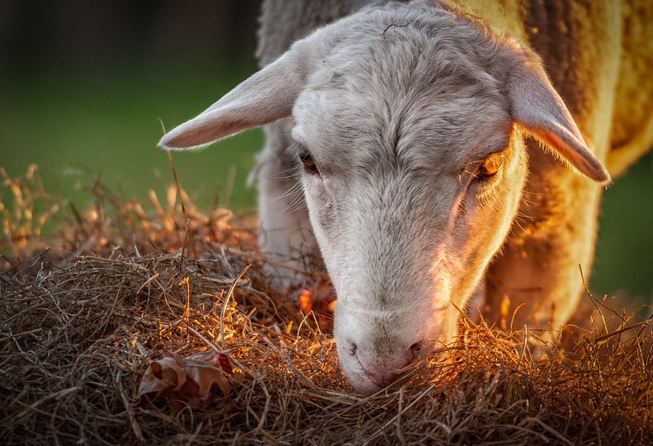 My very tame ewe looking demonic with her golden eye!