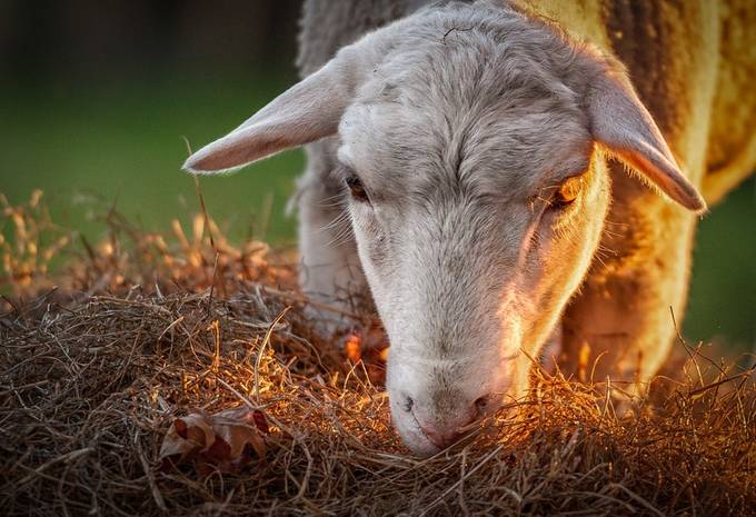 Sheep or Goat? by LornaSmithPhotography - Farms And Barns Animals Photo Contest