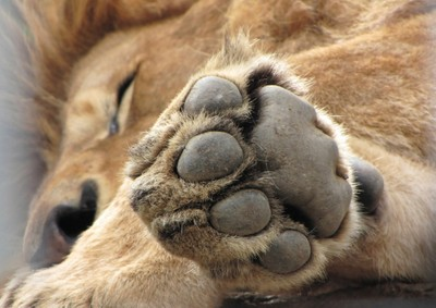 Wake not a sleeping lion