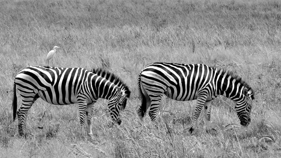 Zebras and Cattle Egret, Rietvlei Nature Reserve, South Africa