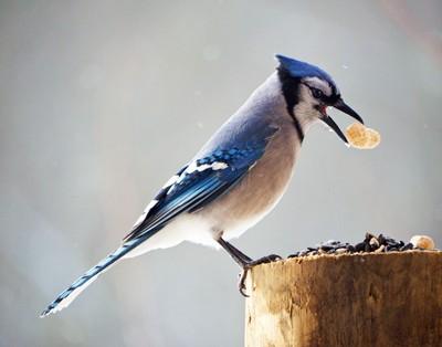 Sunlit Blue Jay