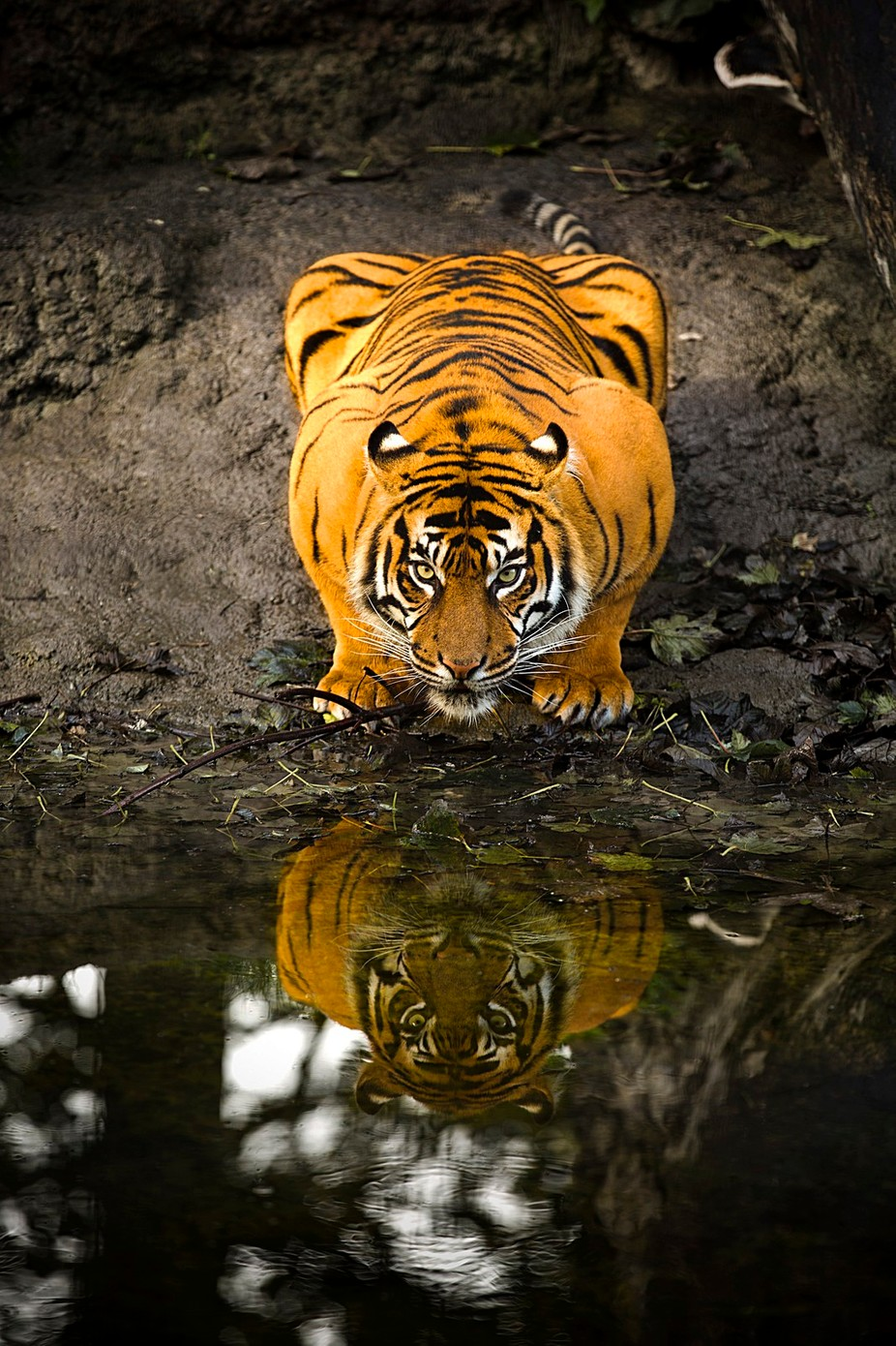 Tiger reflection by DPMPhotography