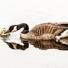 Canada goose and gosselin