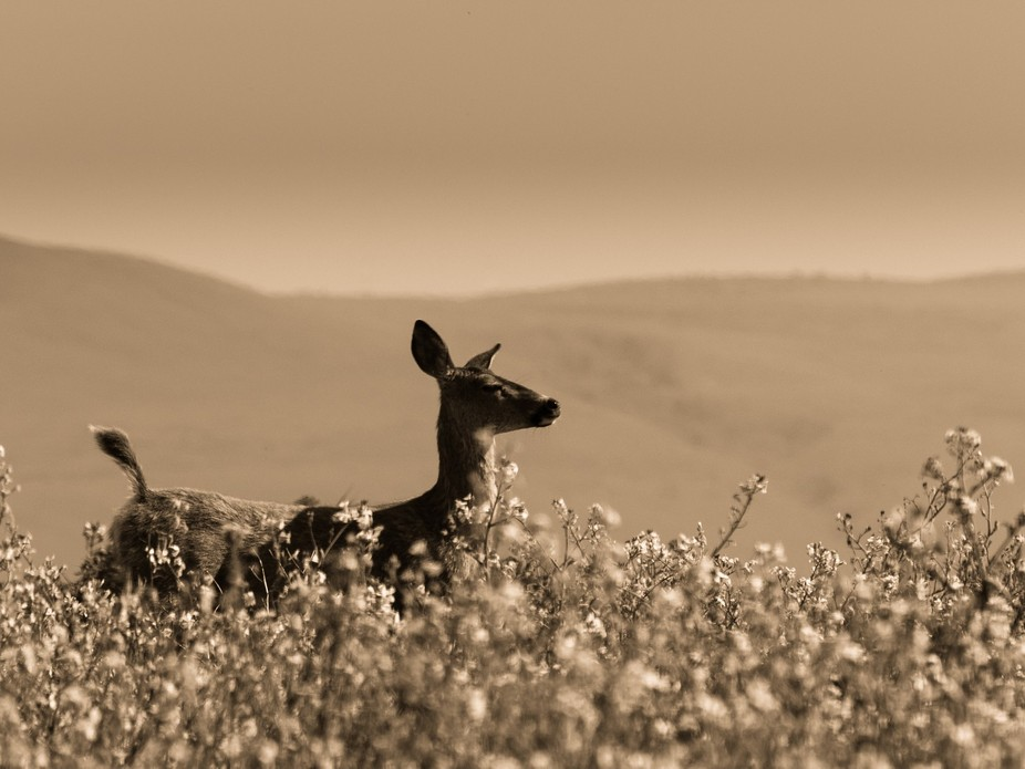 This doe elk was shot at Point Reyes National Seashore North of San Francisco.  I was the first o...