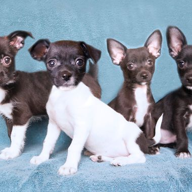 They're only 8 weeks old, and they're Chihuahua/Terrier mixes...  From left to right: Reckless (female), Wildfire (female), Crush (male), Shadow (male)
