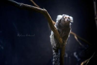 Kind Night Monkey