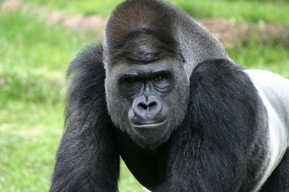 Closeup of an intimidating stare from a big silverback gorilla.