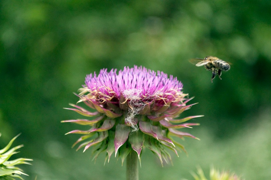 Closeup of a honeybee coming in to land on a purple, Thistle flower to pollenate it.