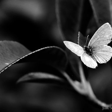 Butterfly Collection (2) - Black and White