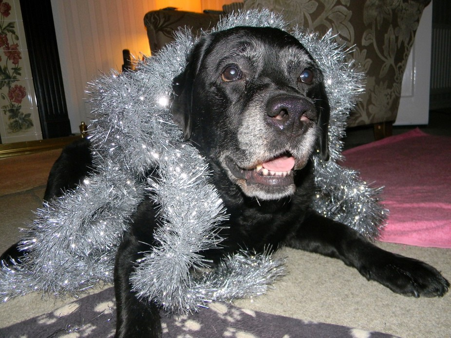 Getting ready for Christmas as my Labrador Jade joined in the festive fun.