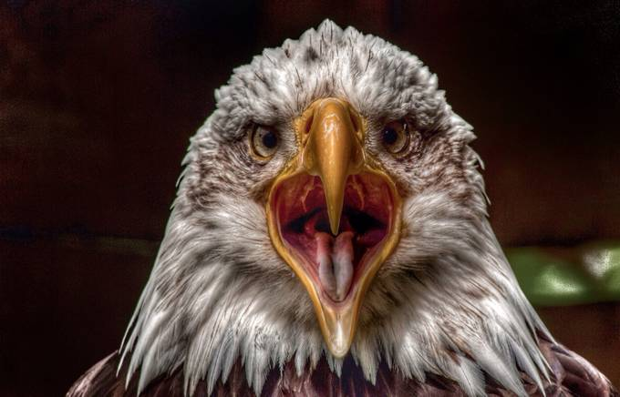 HDR Bald Eagle image by VincentWhitehead - HDR Photography Contest